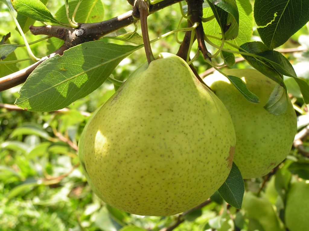 Саженцы груши Августовская роса цена 15 руб 2