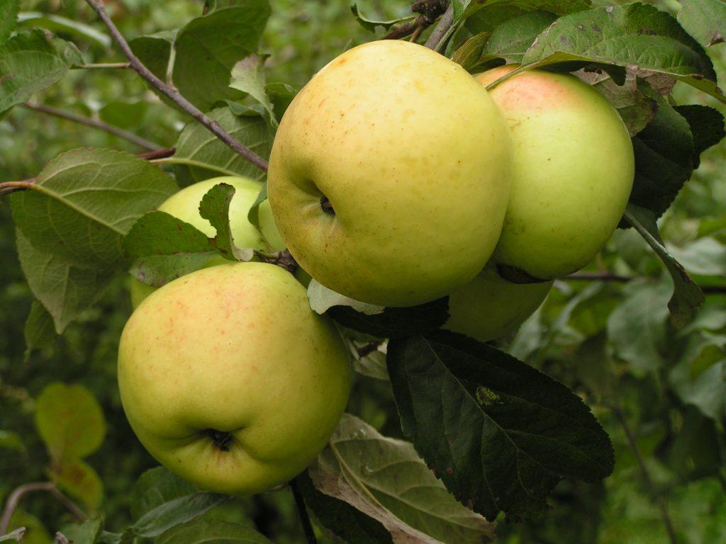 Саженцы яблони Антоновка 2
