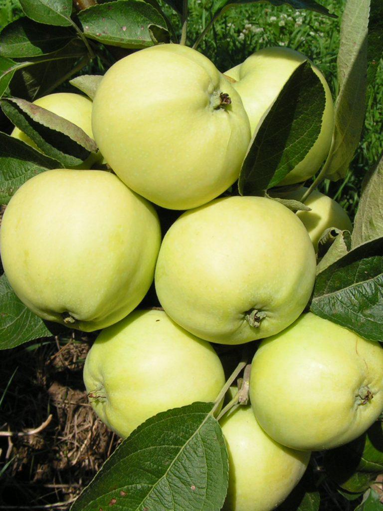 Саженцы яблони Белый налив  цена 10 руб 6