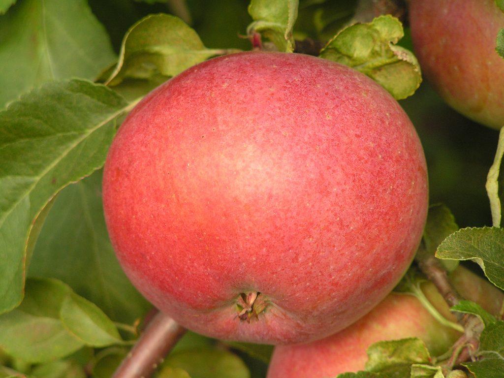 Саженцы яблони Белорусское сладкое 2