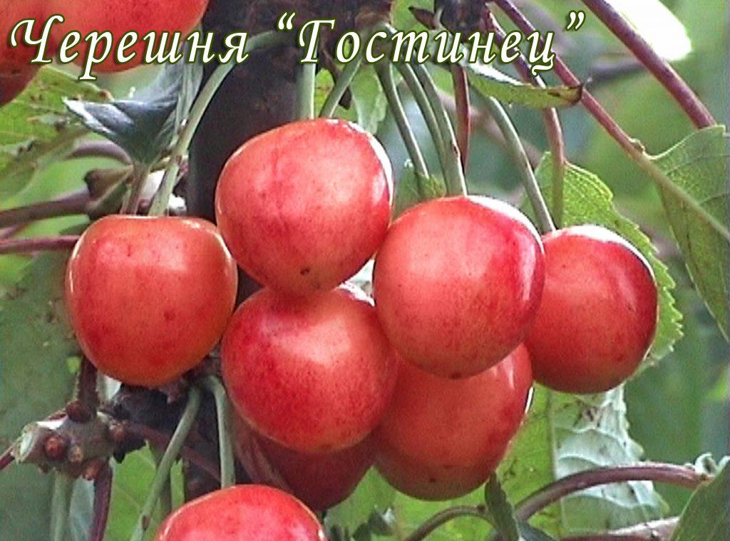 Саженцы черешни Гостинец цена 15 руб 8