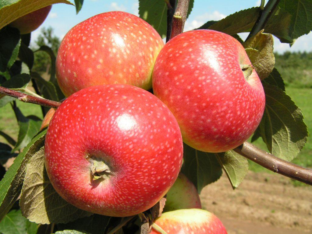 Саженцы яблони Елена  цена 10 руб 5