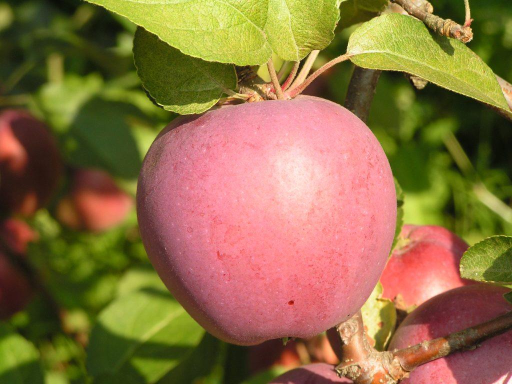 Саженцы яблони Имант 1