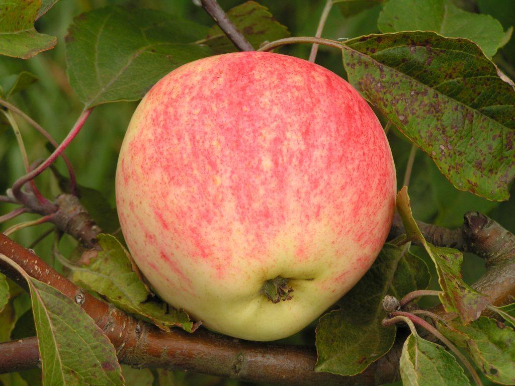 Саженцы яблони Мечта  цена 10 руб 3