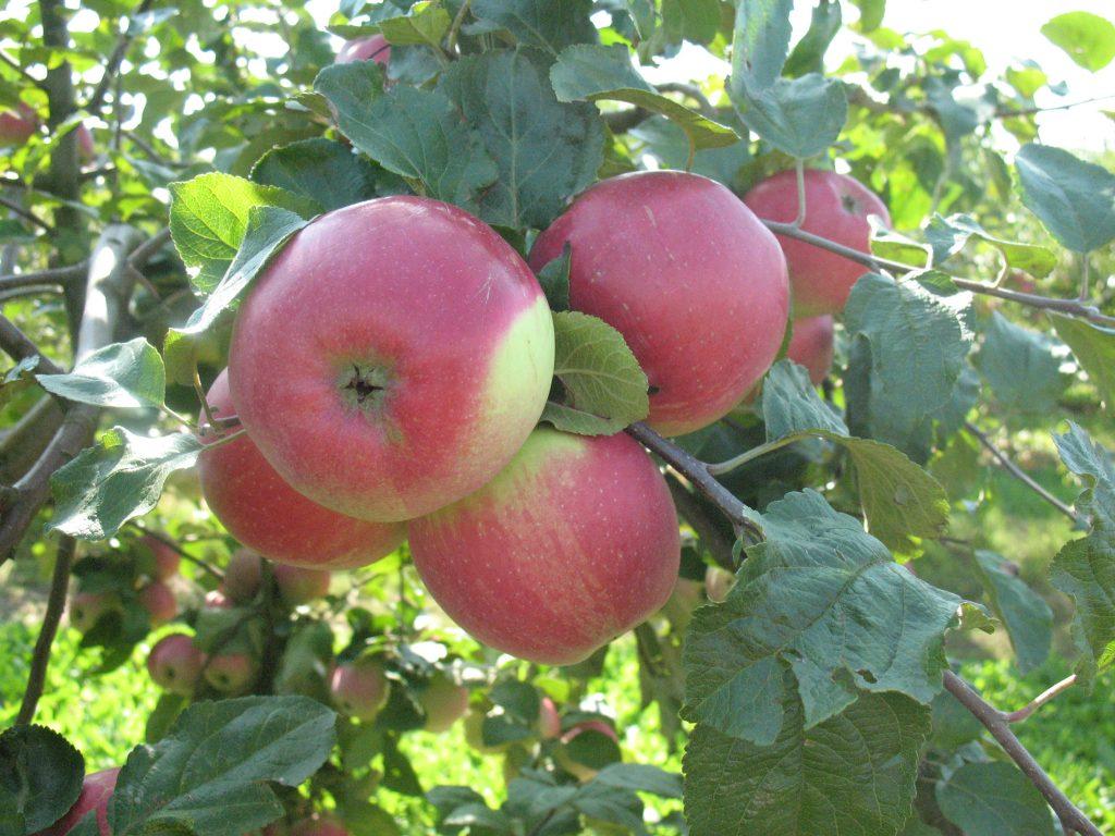 Саженцы яблони Рубин 4