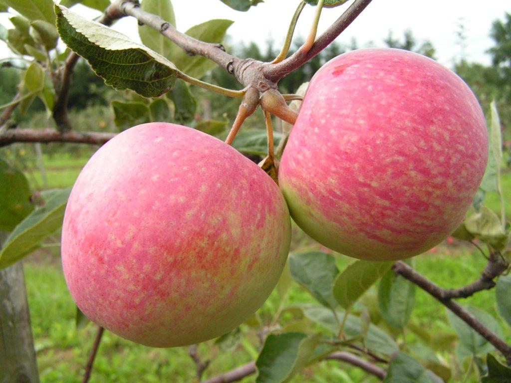 Саженцы яблони Слава победителям 2