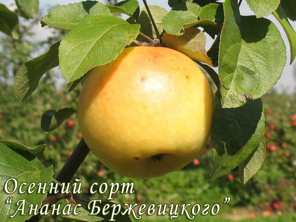 Саженцы яблони Ананас 2