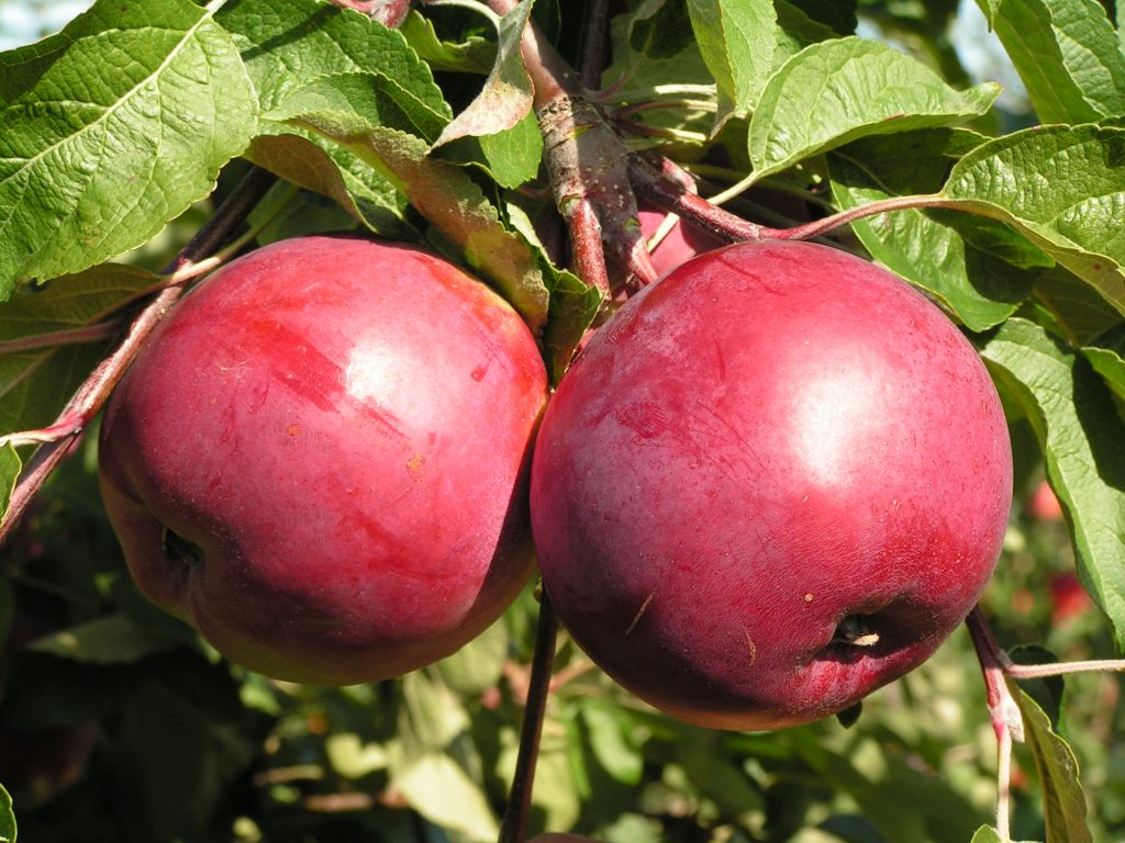 Саженцы яблони Весялина 4