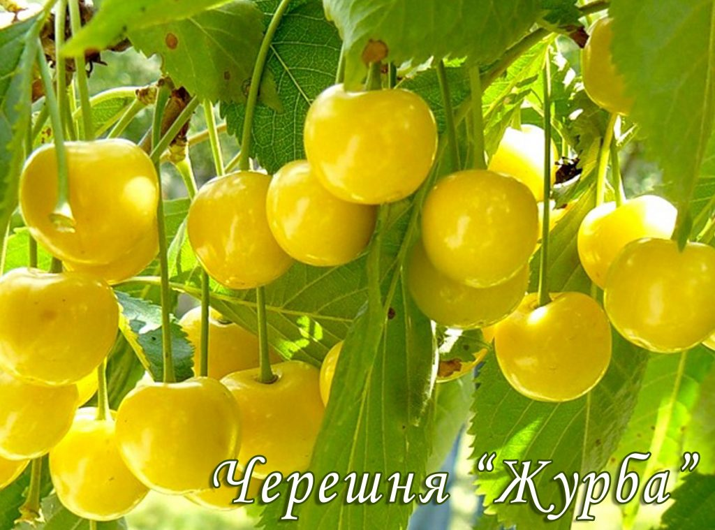 Саженцы черешни Журба цена 15 руб 2