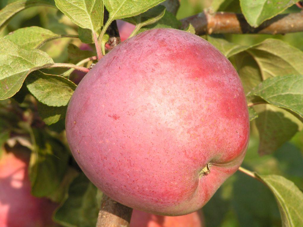 Саженцы яблони Зорка 2