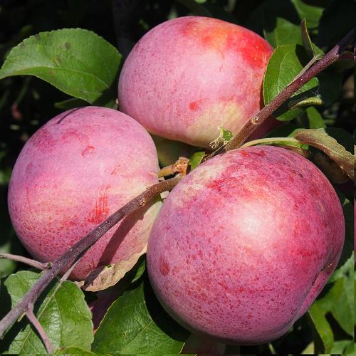 Саженцы яблони Малиновое  цена 10 руб 2