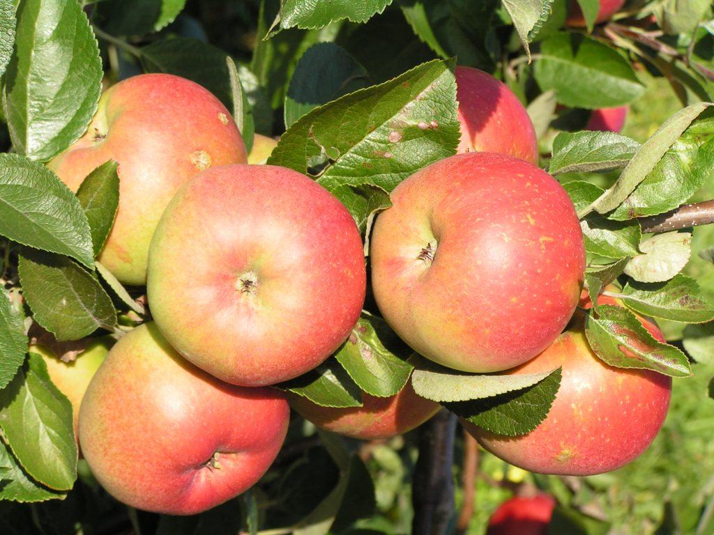 Саженцы яблони Редкрафт 9