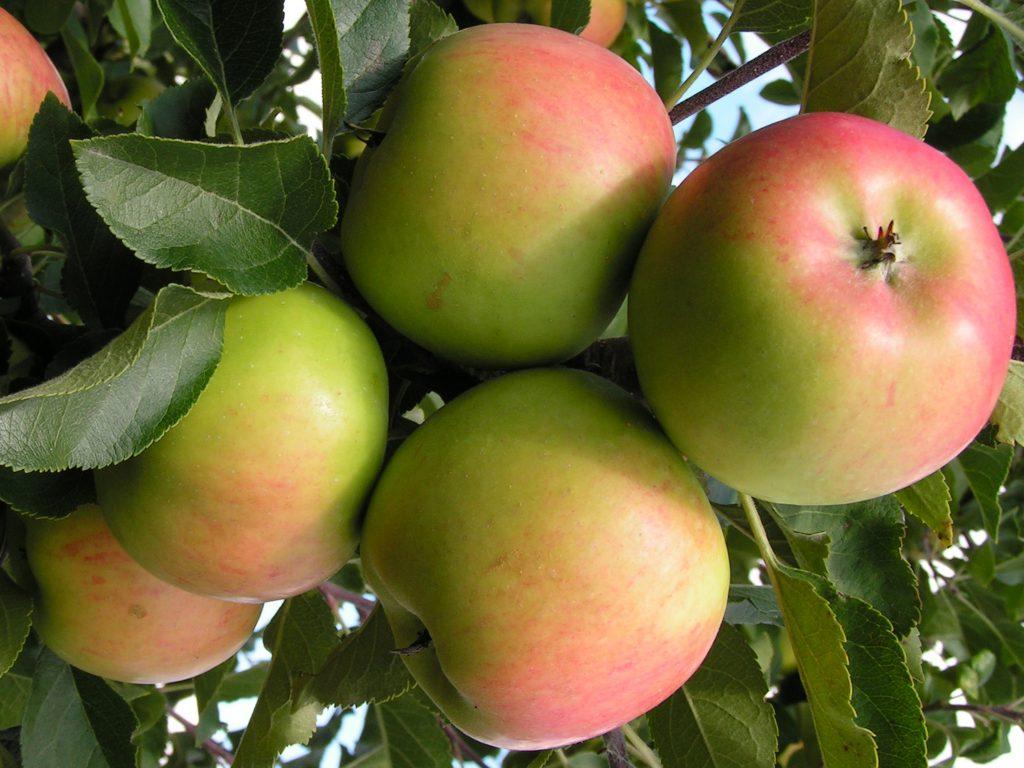 Саженцы яблони Топаз 8