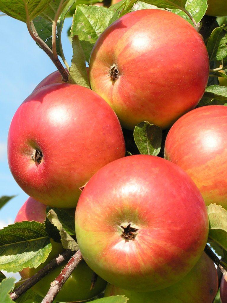 Саженцы яблони Фридом 2