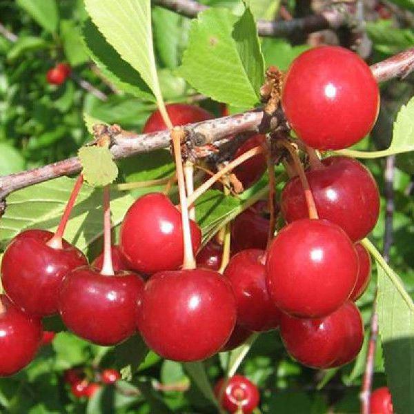 Саженцы вишни Ровесница цена 15 руб 2