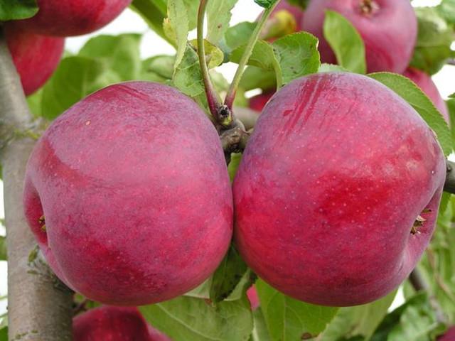 Саженцы яблони Редфри 2
