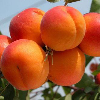 Саженцы абрикоса Сомо  цена 20 руб 1