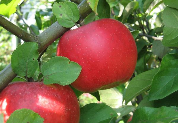 Саженцы яблони Ауксис 3