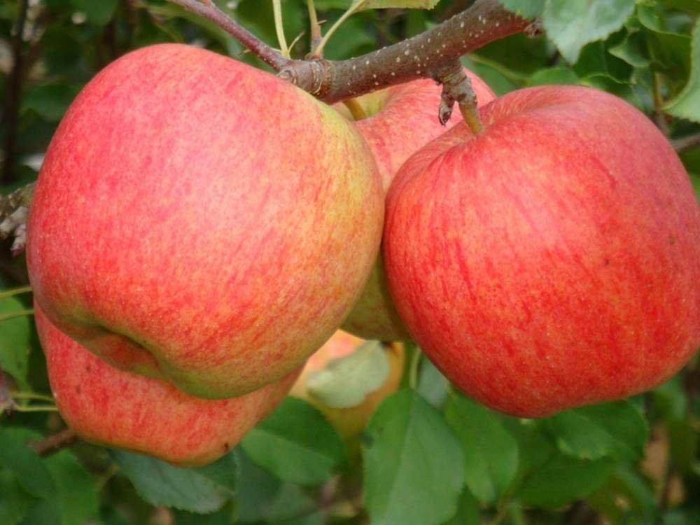 Саженцы яблони Чемпион(грушевое) 2