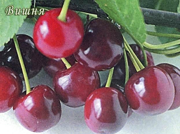 Саженцы вишни Живица (черевишня) цена 15 руб 2