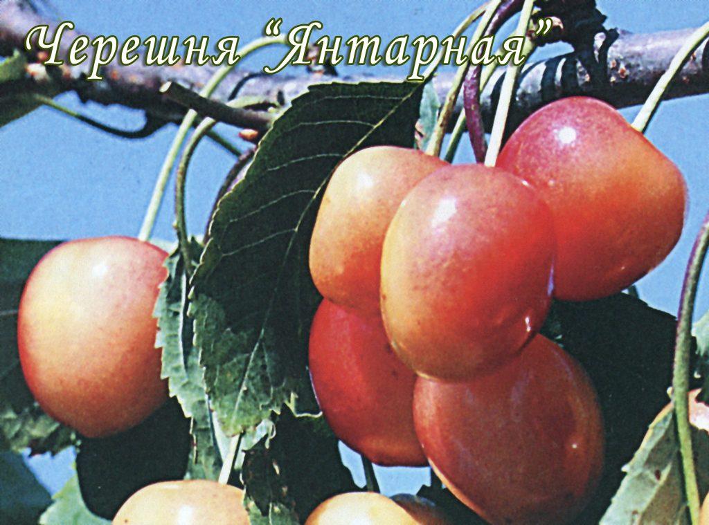 Саженцы черешни Янтарная цена 15 руб 7