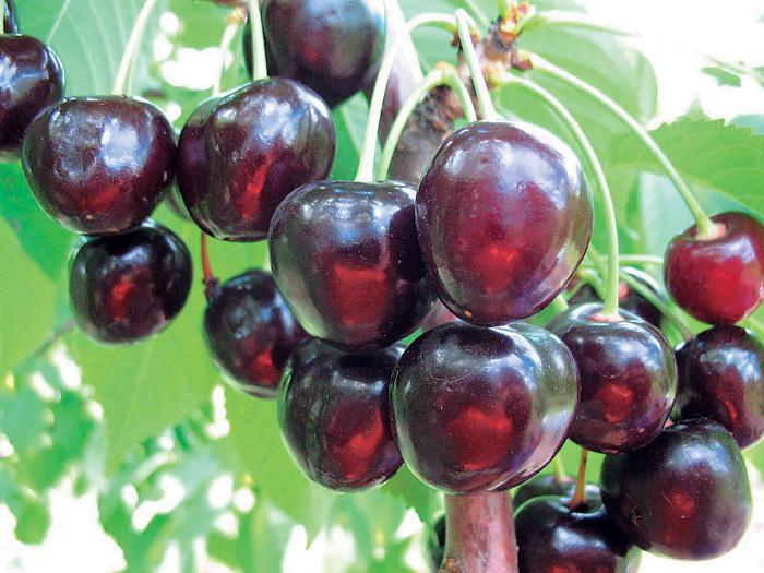 Саженцы черешни Минчанка цена 15 руб 3