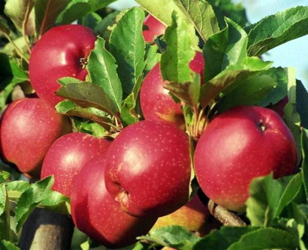 Саженцы яблони Коваленковское  цена 10 руб 2