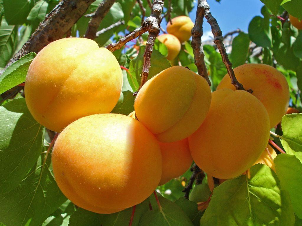Саженцы абрикоса Триумф Северный  цена 20 руб 3