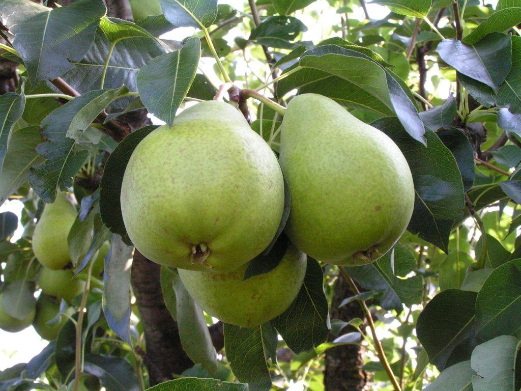 Саженцы груши Бере маслянистая цена 15 руб 2