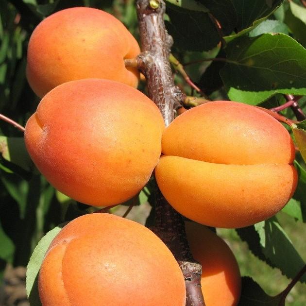 Саженцы абрикоса Отбор Астахова  цена 20 руб 2