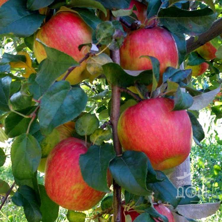 Саженцы яблони Хани Крисп 2