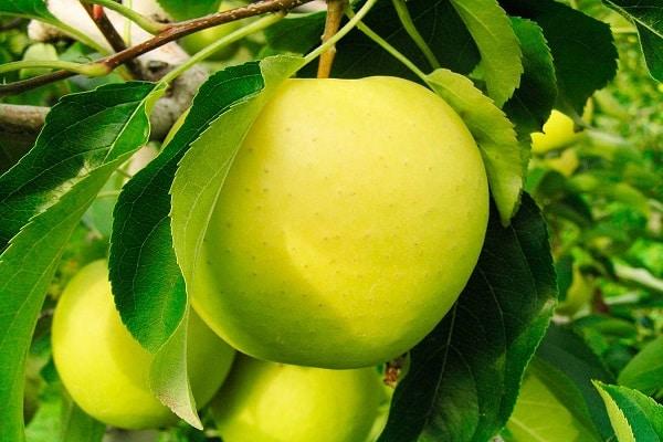 Саженцы яблони Заря Алатау 2