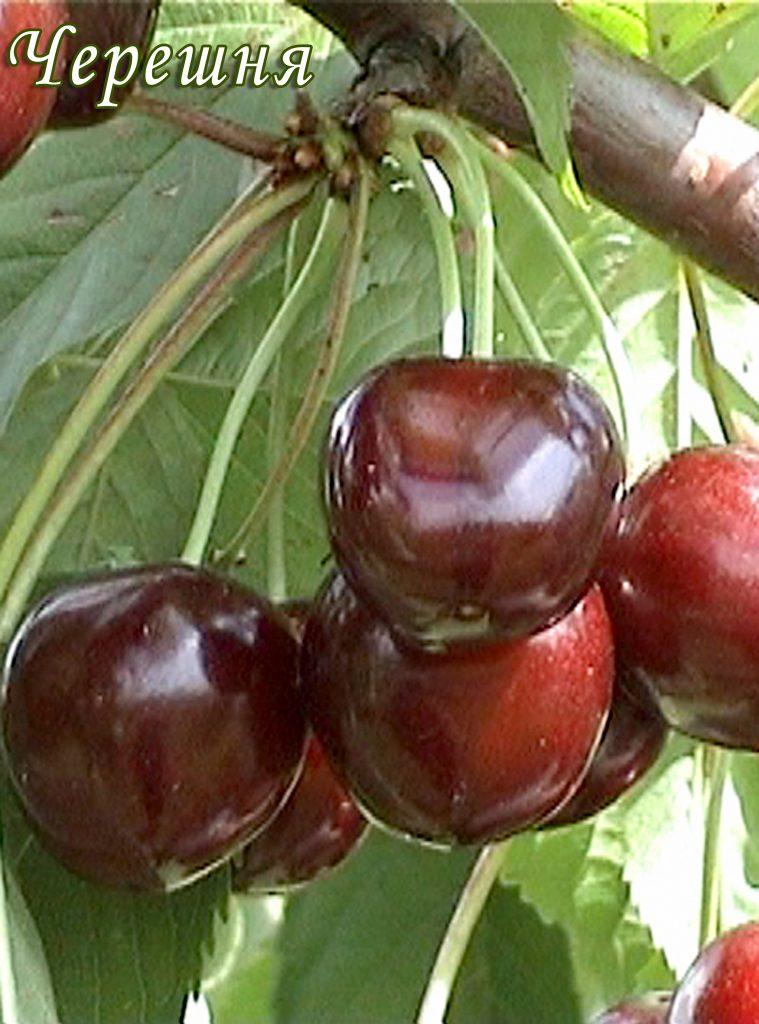 Саженцы черешни Сюбаровская цена 15 руб 2