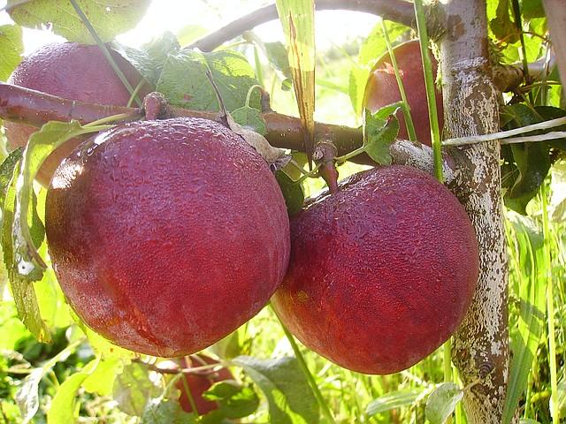 Саженцы яблони Дарунак 1