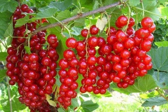 Саженцы смородины красной Джонкер Ван Тетс цена 5-7 руб 1