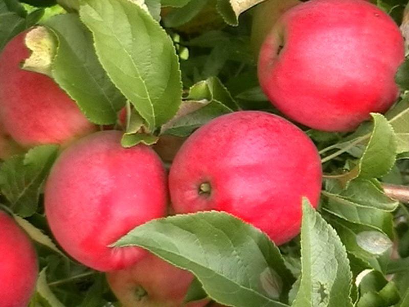 Саженцы яблони Малиновка(Суйслепское) цена 10 руб 1