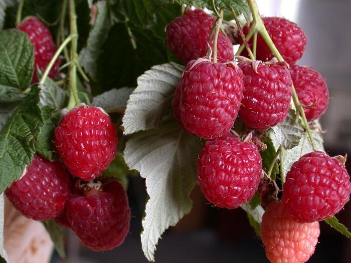 Саженцы малины летней цена 5-7 руб 2