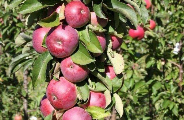 Яблоня колонновидная Триумф 2