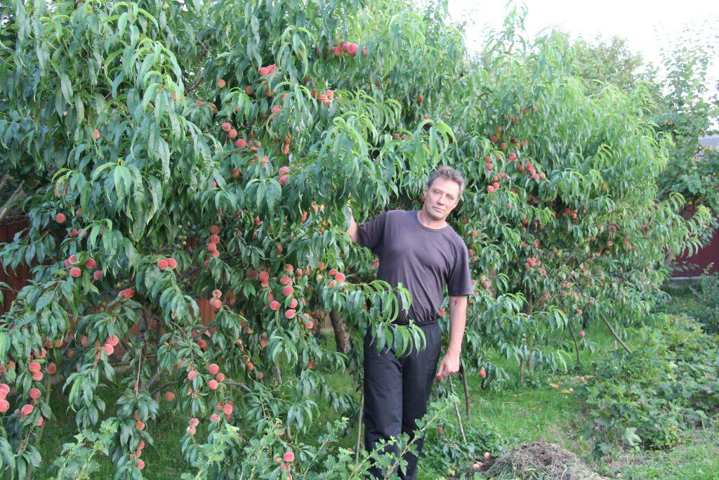 Как ухаживать за плодовыми деревьями 1