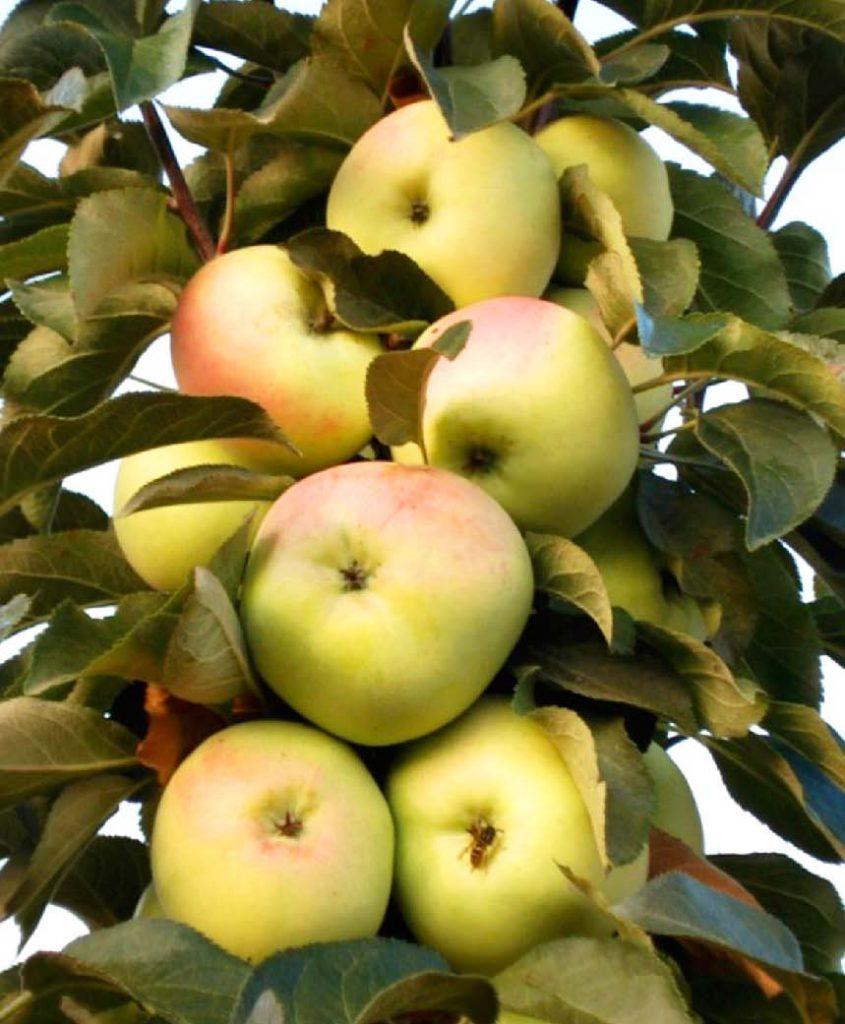 Яблоня колонновидная Медок 4